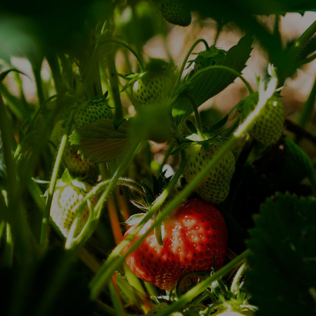 Strawberryplant with many green and one red fruit